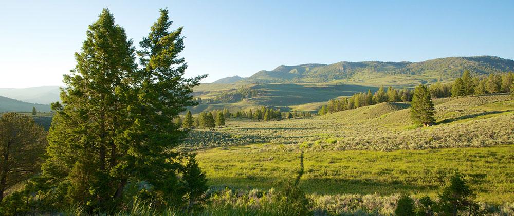 Två barrträd framför ett grönt fält med gröna kullar i bakgrunden.